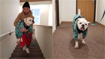 Buldogue americano finge estar mancando toda vez que tem que subir escadas. (Foto: Arquivo Pessoal/Natalie Bretey)
