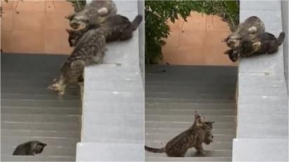 Gatos pulam o muro e, ao perceber que filhote ficou para trás, param para ajudá-lo. (Foto: Reprodução/NewsFlare)