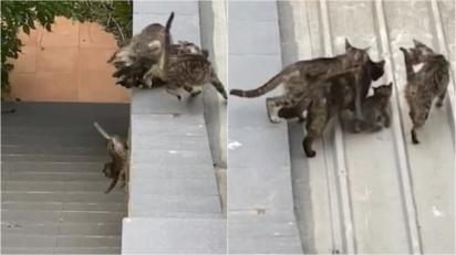 Em uma das tentativas o filhote cai, quando finalmente conseguem, a gataria segue o seu rumo. (Foto: Reprodução/NewsFlare)