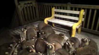 Os guaxinins aguardam o momento em que James irá alimentá-los. (Foto: Reprodução Youtube/James Blackwood - Raccoon Whisperer)