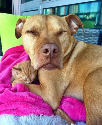 O pit bull Bubba é apaixonado por gatos. (Foto: Instagram/Bubbalovesrue)