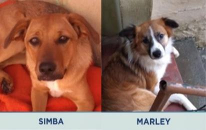 Simba e Marley, dois dos cães envenenados. (Foto: Reprodução Youtube/Balanço Geral)