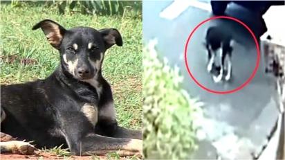 Cadela de rua encontra carteira perdida do homem que a alimenta e guarda onde ele a encontraria. (Foto: Reprodução Youtube/TV Paranaíba)