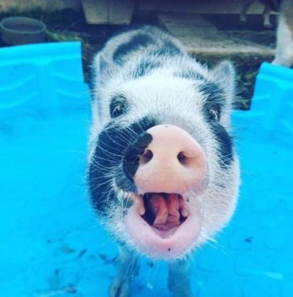 Teresa Ruddel sempre quis ter um porco de estimação. (Foto: Instagram/ollieandthecrew)