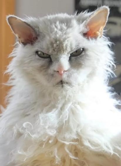 Senhor, não há necessidade desse tipo de agressão: meu gato depois de ir ao pet shop. (Foto: Facebook/Sashiee Chuu)