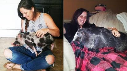 Homem presenteia namorada com porco em miniatura e com o tempo casal descobre que de mini ele não tem nada. (Foto: Instagram/ollieandthecrew)