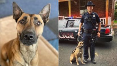 Cadela que foi rejeitada duas vezes por 'ter muita energia' é adotada por equipe policial que a transforma em uma k9. (Foto: Facebook/K9 Mag)
