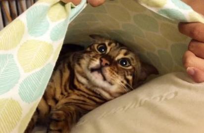 Os donos não sabiam onde ele estava… Até deitarem no travesseiro. (Foto: Imgur/panchobear)