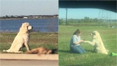 Cão golden retriever leal cuida do corpo de seu amigo após ele ser atropelado por um carro. (Foto: Facebook/Samuel Flores | Facebook/Jullie Fennell)