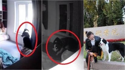 Border collie senta perto da janela por mais de 10 horas à espera da sua dona. (Foto: TikTok/Douyin 125587963)