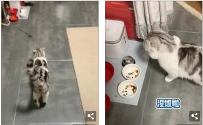 O gato choraminga e conduz a dona até a sua tigela de comida. (Foto: TikTok/Douyin maoyelibai)