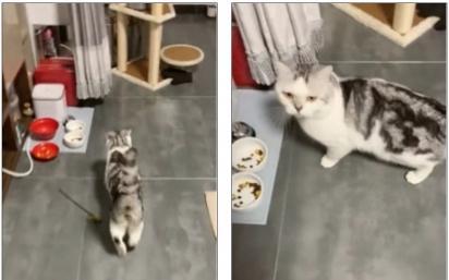 O gatinho olha para a sua dona demonstrando a sua tristeza pelo potinho vazio. (Foto: TikTok/Douyin maoyelibai)