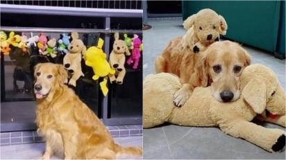 Golden retriever faz questão de ficar ao lado dos seus brinquedos enquanto eles secam. (Foto: Reprodução TikTok/Douyin kkk150929)