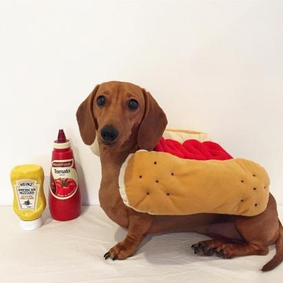 No guarda-roupa da pequena Daisy tem fantasia de cachorro-quente. (Foto: Instagram/littledaisydachshund)
