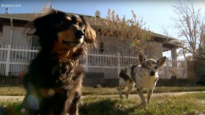 A cadela dachshund, ao ver seu amigo sendo atacado, começou a latir e a avançar na onça. (Foto: Reprodução Youtbe/9NEWS)
