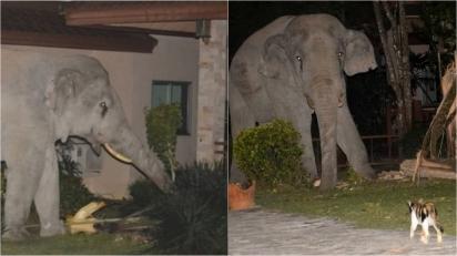Gato corajoso bota elefante para correr após ele tentar invadir quintal de sua casa. (Foto: Reprodução/ViralPress)