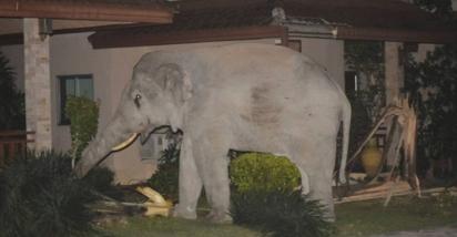 Moradores disseram que o elefante chamado Pai Salick é conhecido por pisar nos jardins das pessoas em busca de comida. (Foto: Reprodução/ViralPress)