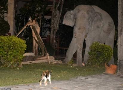 Momento em que o gato chamado Simba perseguiu o elefante de quatro toneladas que estava passeando em seu jardim na Tailândia. (Foto: Reprodução/ViralPress)