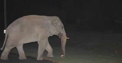O elefante obrigou-se a sair, já que o gato não gosta que outros animais entrem em seu território e o expulsou corajosamente. (Foto: Reprodução/ViralPress)