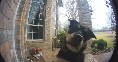 Os cães depois de brincarem vão até a varanda e um deles aperta a campainha para chamar atenção dos donos. (Foto: Reprodução/ring.com)