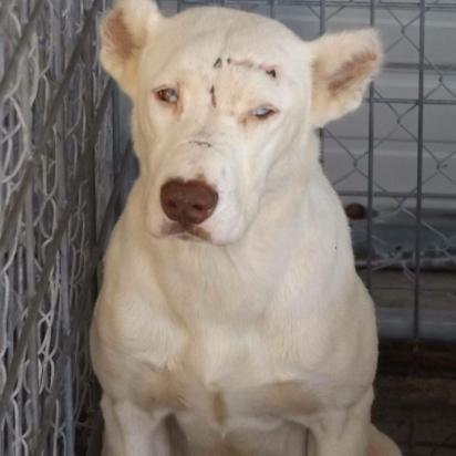 A cadela estava com muitos ferimentos no rosto, o que indicava que foi agredida com golpes de algum tipo de ferramenta. (Foto: Facebook/Arrow Dog Rescue-Animal Rescue Revolution on Wheels)