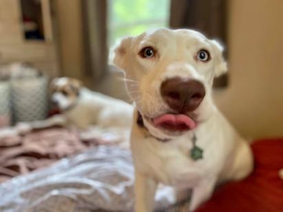 Agora Niya, com 4 anos, vive muito feliz num lar amoroso. (Foto: Facebook/Arrow Dog Rescue-Animal Rescue Revolution on Wheels)