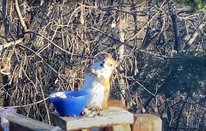 O esquilo vai diariamente se alimentar na residência da família Morlok. (Foto: Reprodução Youtube/Piggy Girl 2010)