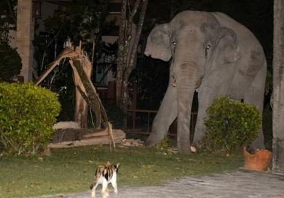 Gato chamado Simba perseguiu o elefante de quatro toneladas que estava passeando em seu jardim na Tailândia. (Foto: Reprodução/ViralPress)
