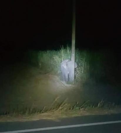 O filhote de elefante escolheu um poste de luz para se esconder do flagra de ter comido cana-de-açúcar numa plantação na Tailândia. (Foto: Reprodução/Daily Mail)