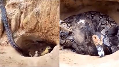Mamãe pata dá a própria vida para salvar seus filhotes de cobra faminta. (Foto: Sudha Ramen/IFS)
