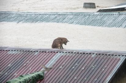O cachorrinho foi fotografado em cima do telhado para se proteger da enchente que alastrou a cidade de Marikina, Filipinas. (Foto: Facebook/Larry Monserate Piojo)