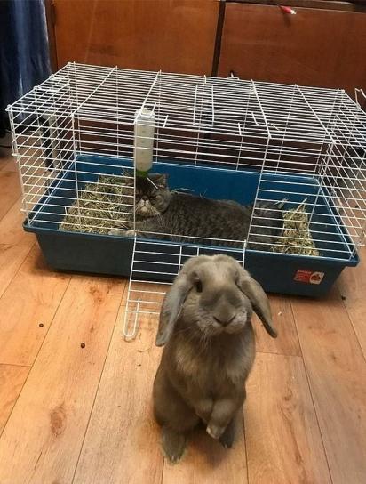 Eu não sei o que é melhor: a carinha do coelho expulso da própria casinha, ou a expressão de malvado do gato na sua mais nova casinha. (Foto: Reprodução/Bored Panda)