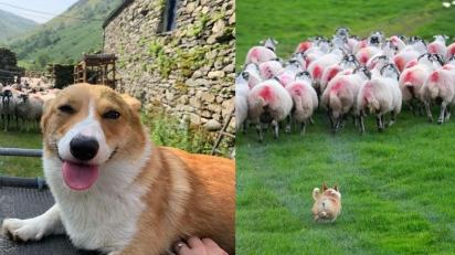 Corgi pastoreia ovelhas em fazenda da Inglaterra. (Foto: Instagram/thefarmcorgi)