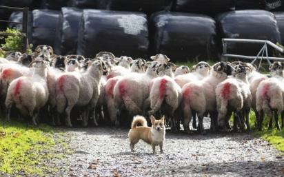 A cadela e as ovelhas da fazenda. (Foto: Instagram/thefarmcorgi)