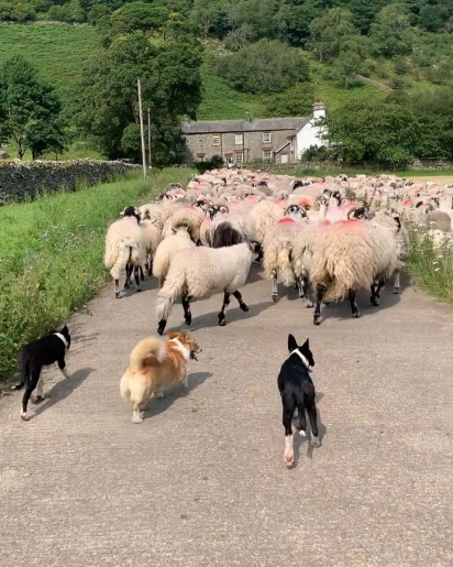 A pequena corgi está ensinando os novos filhotes da fazenda a pastorear as ovelhas. (Foto: Instagram/thefarmcorgi)