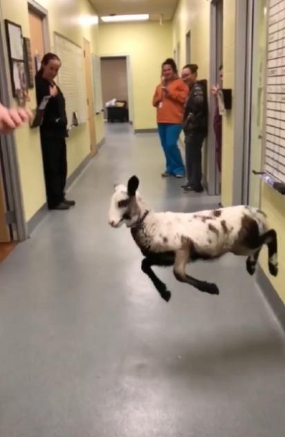 A cordeira dá um show de dança e alegria. (Foto: Facebook/Longview Animal Care and Adoption Center)