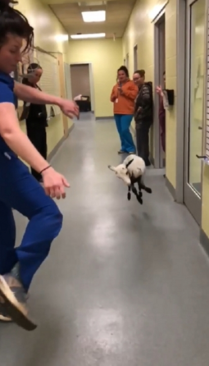 Erin Dryden frequentemente permite que sua ovelha de estimação, Ursula, acompanhe o trabalho no abrigo. (Foto: Facebook/Longview Animal Care and Adoption Center)