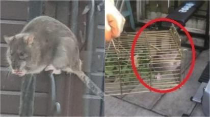 Infestação de ratos do tamanho de gatos invade complexo de apartamentos no Reino Unido. (Foto: Reprodução/Men Media)