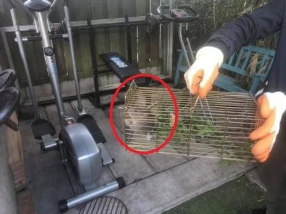 Um dos ratos capturados. (Foto: Reprodução/Men Media)