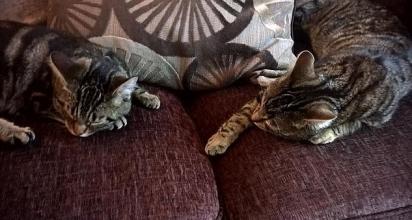 Quando não estão brincando, os dois gatos estão descansando um do lado do outro. (Foto: Kennedy News and Media)