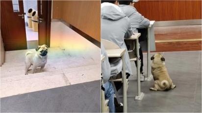 O pug entrou na sala e se acomodou ao lado de um aluno para assistir a aula. (Foto: Weibo/ Chongqing University)