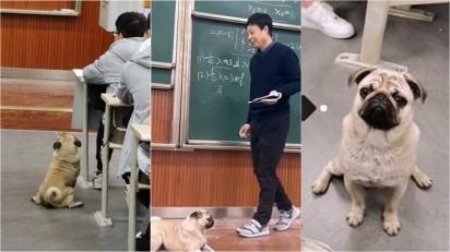 Pug morador de rua invade sala de Universidade e fica prestando atenção na aula. (Foto: Weibo/ Chongqing University)