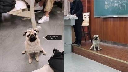 A presença do pug alegrou a sala e deixou a aula de álgebra mais divertida. (Foto: Weibo/ Chongqing University)