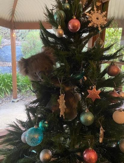 O coala muito curioso ficou entre os enfeites de natal. (Foto: Instagram/Mcqueen1004)