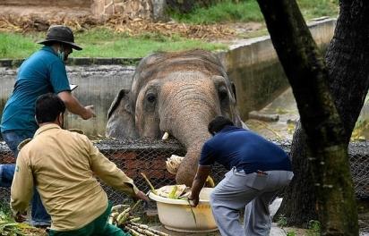 Kaavan foi enviado para um zoológico em Islamabad, no Paquistão, onde viveu na companhia de outro elefante. (Foto: Getty Images/Four Paws AFP)