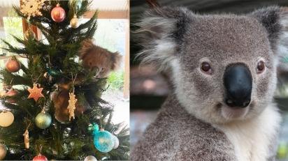 Família encontra coala pendurado na árvore de Natal da sua sala. (Foto: Instagram/Mcqueen1004 | Angelo_Giordano/Pixabay)