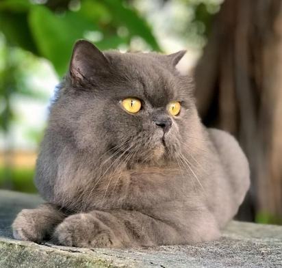 Gato da raça Persa. (Foto: Instagram/sr.lucascat)
