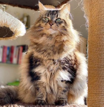 Gato da raça Norueguês da Floresta. (Foto: Instagram/tln_cats)