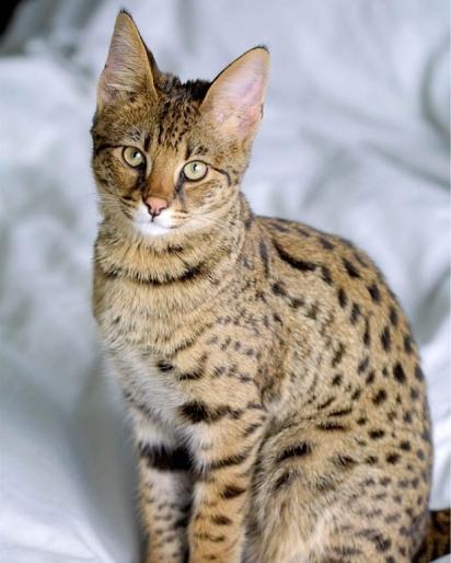 Gato Savannah foi criado pelo cruzamento do gato doméstico e felinos africanos. (Foto: Instagram/beautifulanimals_91)
