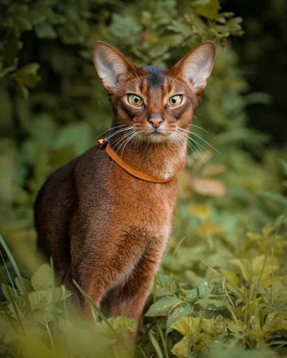 O ancestral dessa raça é o gato selvagem africano. (Foto: Instagram/abycat_matilda_and_march)